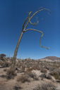 Boojum tree (Baja Callifornia, Mexico)